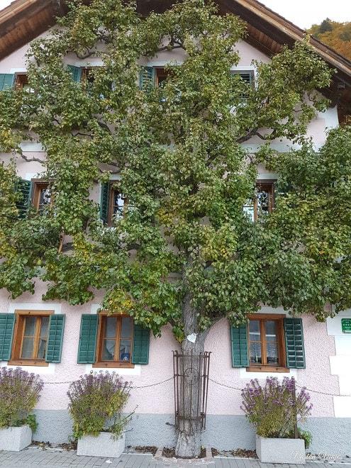 Casa en Hallstatt con un árbol en la fachada.