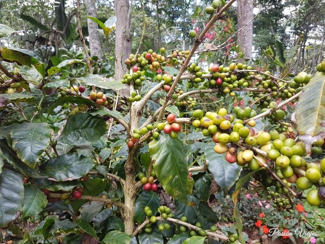 Cultivo orgánico de café Mesa de los Santos.