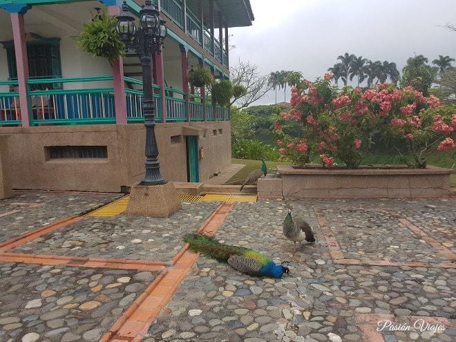 El pavo real y las pavas del Hotel Las Heliconias.