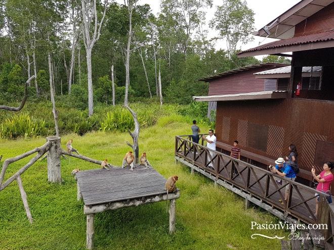 Turistas observando a los monos narigudos.