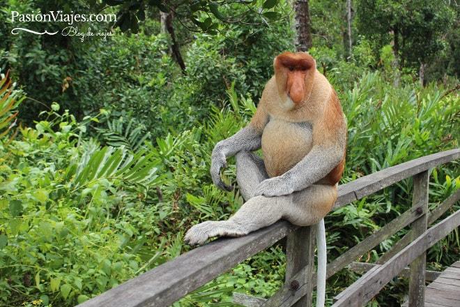 Mono narigudo visto en el Santuario en la zona de Sabah Borneo.
