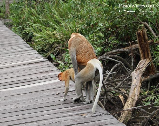 """Monos narigudos haciendo el """"ñaca ñaca"""" o mejor dicho, """"la cochinada"""" como diría una amiga."""