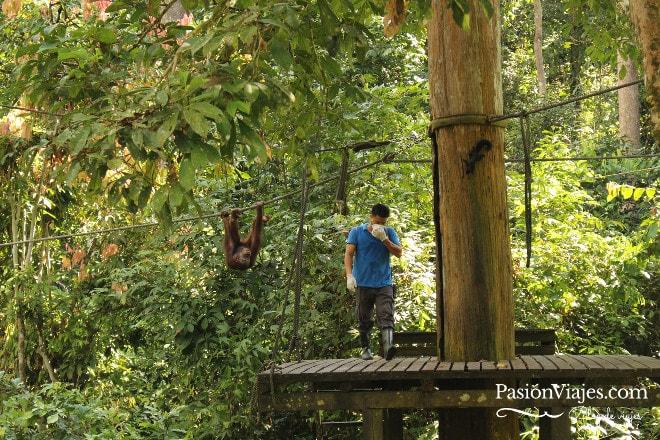 Hora de la comida para los orangutanes en Sepilok.