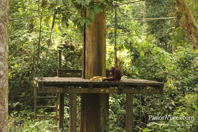 Este fue el único orangután que llegó y la mayoría del tiempo estuvo de espaldas.