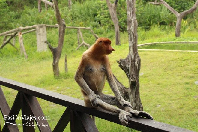 Mono narigudo hembra en el Santuario Labuk Bay.